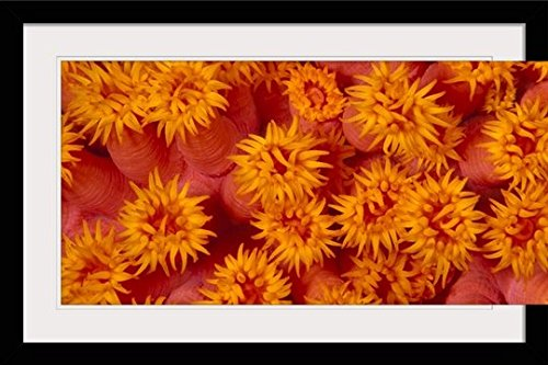 GreatBIGCanvas ''Indonesia, Close-Up Top View of Orange Tube Coral (Tubastraea Sp)'' by Ed Robinson Photographic Print with Black Frame, 36'' x 24'' by greatBIGcanvas