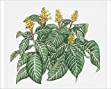 Media Storehouse 10x8 Print of Illustration of Aphelandra squarrosa (Zebra Plant), Yellow Flowers and (13545431)