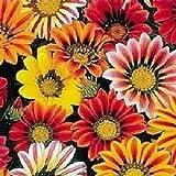 30 Kontiki STARS & STRIPES GAZANIA Ringens Treasure Flower Seeds