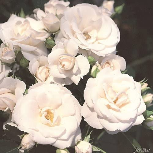 Stammrose Aspirin Rose/® ADR-Rose 60 cm