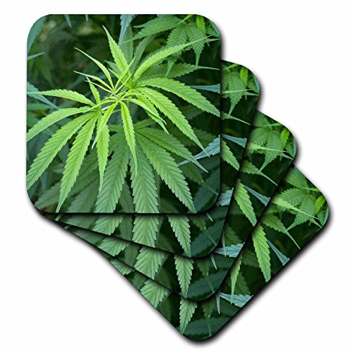3dRose cst_206907_2 Close-up view of marijuana plant, Malkerns, Swaziland.-Soft Coasters, set of 8