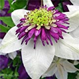 Mix Clematis Hybridas Seeds Beautiful Clematis Climbing Plants Bonsai Flower Seeds DIY Home Garden 100 seeds Clematis florida 7