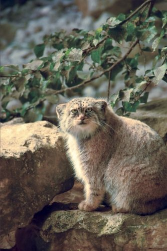 Pallas Cat (Manul Pallas's Cat (Otocolobus manul) Small Wild Cat Journal: 150 Page Lined Notebook/Diary)