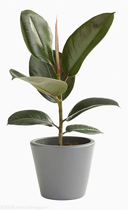 50 Seeds Rubber Tree Indoor Air Purification House Plant on rubber plant light requirements, india rubber plant, rubber tree plant, rubber plant care tips, rubber floor covering, rubber succulents, rubber leaf plant, rubber freeze plug, tall rubber plant, rubber patio, baby rubber plant, green rubber plant, jade plant, rubber paint coating, american rubber plant, rubber looking plant, rubber plank flooring, rubber fruit plant, outdoor rubber plant,