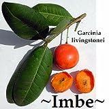 ~IMBE~ Lowveld Mangosteen Garcinia livingstonei AFRICAN FRUIT TREE Starter Plant