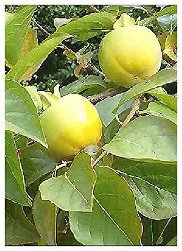 TROPICA - Kakibaum / Kakipflaume (Diospyros kaki) - 10 Samen TROPICA®