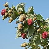 BP 1 Raspberry - 2 Golden Raspberry Plants - Everbearing - Organic Grown -