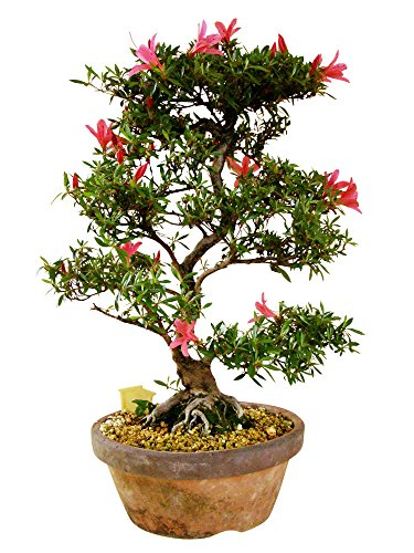 Bonsai Rohling Azalee, Rhododendron, ca. 47 cm hoch