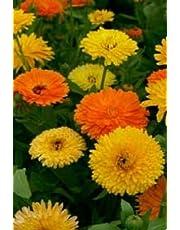 Fiore - Calendula officinalis - Pacific Beauty Mix - Calendula - 1000 Semi