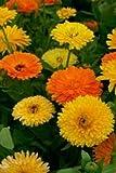 Just Seed - Flower - Calendula officinalis - Pacific Beauty Mix - Pot Marigold - 1000 Seeds