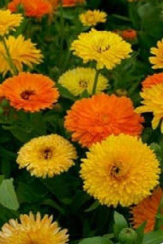 6 opinioni per Fiore- Calendula officinalis- Pacific Beauty Mix- Calendula- 1000 Semi