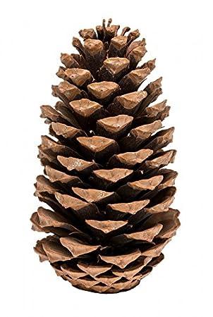 Amazon De Nadeco Pinus Maritima 10 14cm Natur 10 Stuck Maritima