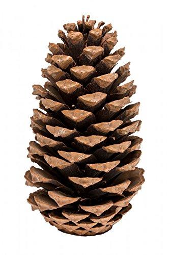 Deko Mit Tannenzapfen.Nadeco Pinus Maritima 10 14cm Natur 10 Stück Maritima Tannenzapfen Große Maritima Zapfen Große Tannenzapfen Deko Zapfen