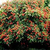 (1 Gallon)RED BUCKEYE- Native Tree-spectacular show of deep red flowers in spring