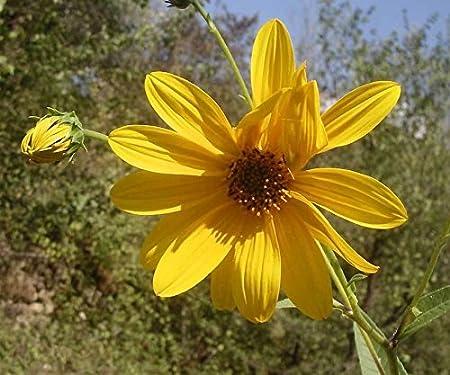 Showy Sunflower 20-Seeds Helianthus pauciflorus