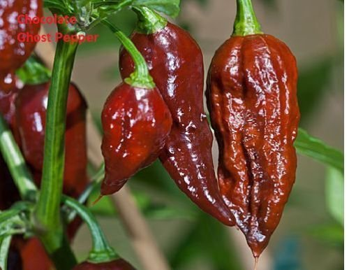 (15 Seeds Chocolate Brown Bhut Jolokia Ghost Pepper Guiness World Record Hot Rare (15) )