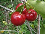 Malphigia Glabra - Acerola Barbados Cherry - Rare Exotic Tropical Tree Seeds (5)