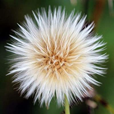 Sow Thistle (50 Seeds) Fresh This Season's Harvest from My Garden : Garden & Outdoor
