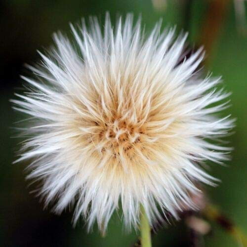 Sow Thistle (50 Seeds) Fresh This Season's Harvest from My Garden