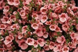 Haning Diascia 'Pink Queen' (Diascia Barbarea) Annual Flower Plant Heirloom Seeds