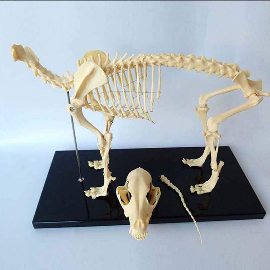 ALBB Canine Dog Skeleton Anatomical Model Animal Anatomical Model Dog Skeleton Anatomy for Veterinary Teaching Demonstration Tool Human Biology Teaching