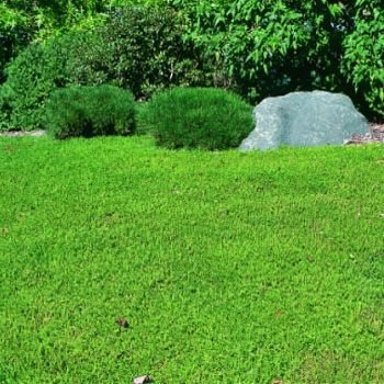 Outsidepride Herniaria Glabra Green Carpet Ground Cover Plant Seeds - 10000 seeds (Ground Cover Seeds)