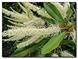 WHITE OAK (Grevillea baileyana) 10 seeds