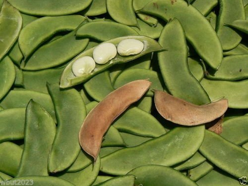 Henderson Lima Beans (Bean - Henderson's Earliest Bush Bean,300 Seeds (Baby Lima) Heirloom)