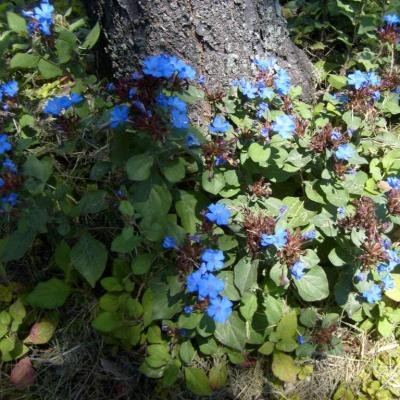 Classy Groundcovers - Dwarf Plumbago, Hardy Blue Plumbago Chinese Leadwort {25 Pots - 3 1/2 in.} by Classy Groundcovers (Image #8)