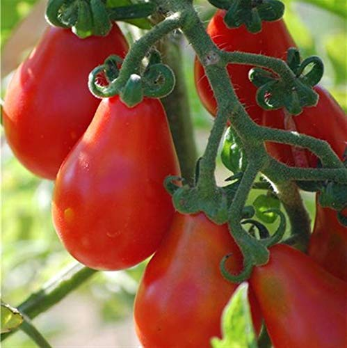 Red Pear Tomato 50 Seeds, Non-GMO, Rare Heirloom, Delicious, Salad, ()