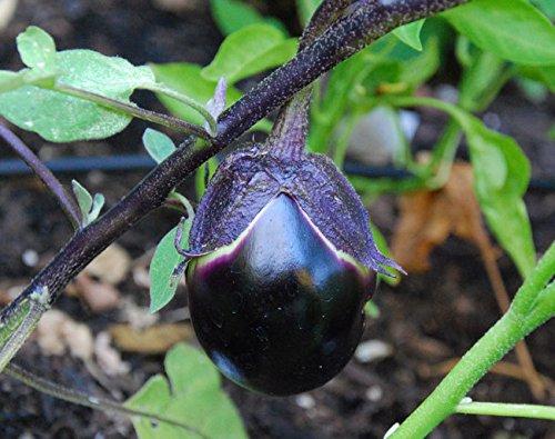 Kamo Eggplant Seeds - 3