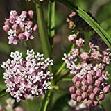 Narrowleaf Milkweed Seed Balls for Fall Planting (Asclepias fascicularis) (50)