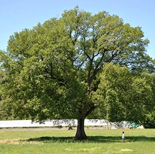 supporto al dettaglio all'ingrosso Quercus pubescens (Quercia) - Roverella [H. [H. [H. 250 cm.]  nuovo sadico