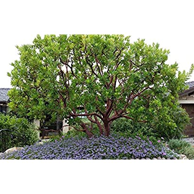 AchmadAnam - Live Plant - Arbutus Marina - Strawberry Tree - 1 Plants - 2 to 3 Feet Fall - Ship in 3 Gal Pot. E9 : Garden & Outdoor