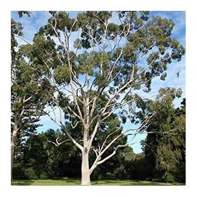 Shopvise Lemon Eucalyptus Tree Seeds (Eucalyptus Citriodora) 20Seeds : Garden & Outdoor