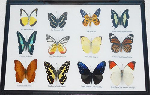 GABUR Real 12 Mix Butterflies Set Specimen Collection Gifts Taxidermy Display in Frame 16.93 x 9.85 x 0.98 Inches Black