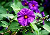 Home Comforts Laminated Poster1 Purple Potato Bush Flower Flowers Poster1 Print 24x 36