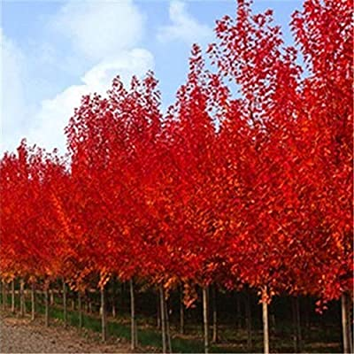 Ywbtuechars Red Maple Tree Seeds, 200Pcs Red Maple Tree Seeds Ornamental Plant Miniascape Garden Yard Bonsai Decor, Can Survive in Any Soil Environment - Red Maple Tree Seeds : Garden & Outdoor