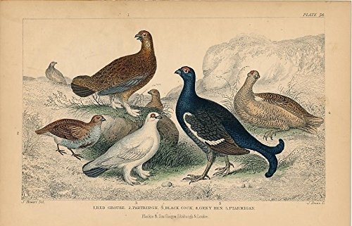 - Grouse Partridge Ptarmigan c. c. 1850s nice old hand colored Bird print