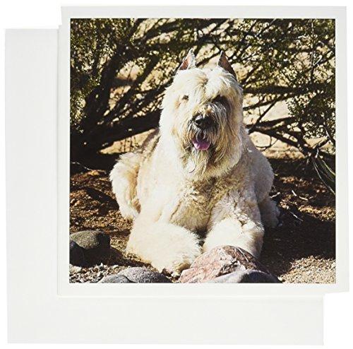 3dRose Bouvier des Flandres dog on desert floor - US03 ZMU0001 - Zandria Muench Beraldo - Greeting Cards, 6 x 6 inches, set of 6 (Desert Floor)