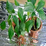 NAVADEAL Silver Reflective Mylar Film- 82 x 47 inch Set of 6- Garden Greenhouse Covering Foil Sheets, Highly Reflective, Effectively Increase Plants Growth, 100% Environmentally Safe