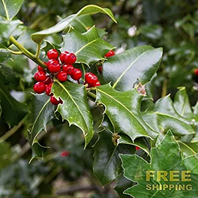 Chinese Holly Ilex Cornuta - 20 Seeds : Garden & Outdoor