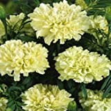 Outsidepride Marigold White - 500 Seeds