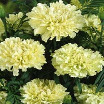Amazon Outsidepride Marigold White 500 Seeds Flowering