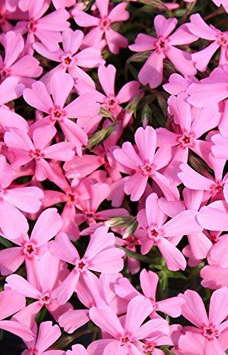 Early Spring Light Pink Creeping Phlox Perennial - Quart Pot (Phlox Creeping)
