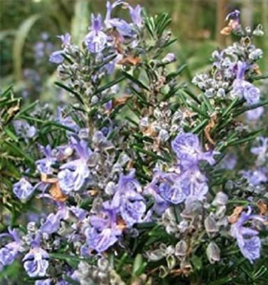 Rosemary Seeds Herb Seeds Garden Leader 100 Seeds nursery seeds