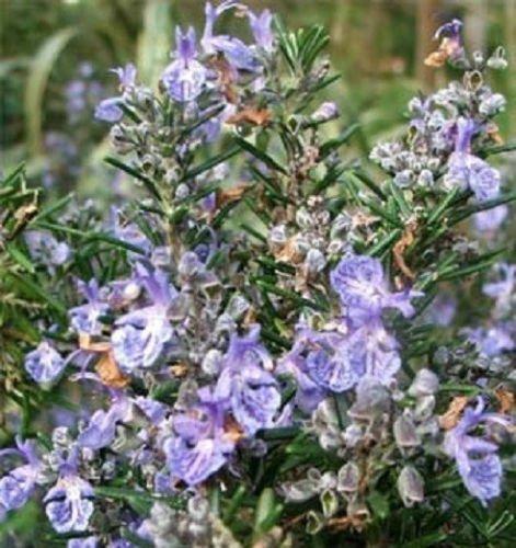 Rosemary Seeds Herb Seeds Garden Leader 100 Seeds Nursery Seeds SVI