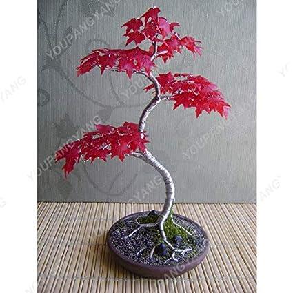 Amazon.com : Shopmeeko 10pcs Red Maple Bonsai Beautiful Tree ... on fruit japanese, mushrooms japanese, flowers japanese,