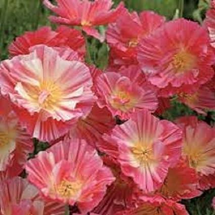 Amazon 40 Peach Strawberry California Poppy Flower Seeds