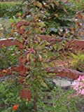 AMERICAN PLUM TREES Prunus americana 1-2'